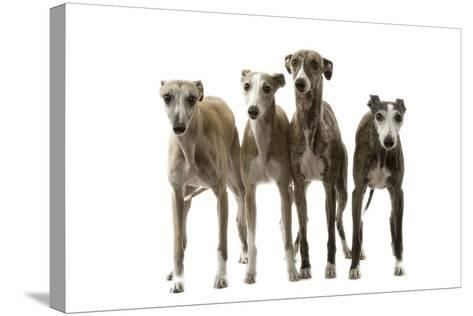 Whippets--Stretched Canvas Print