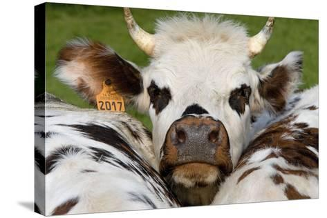 Normandy Cow Face--Stretched Canvas Print