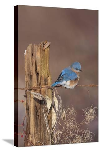 Eastern Bluebird Male in Winter--Stretched Canvas Print