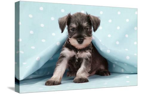 Miniature Schnauzer Puppy (6 Weeks Old)--Stretched Canvas Print