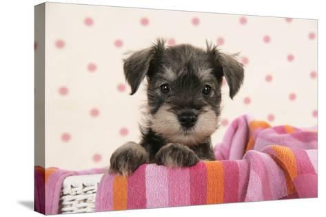 Miniature Schnauzer Puppy (6 Weeks Old)--Stretched Canvas Print