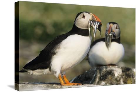 Puffin Two with Sandeels in Beak--Stretched Canvas Print