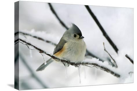 Tufted Titmouse on Branch in Snow--Stretched Canvas Print