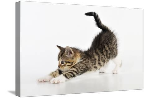 Kitten Stretching--Stretched Canvas Print