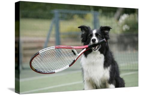 Border Collie Holding Tennis Racket--Stretched Canvas Print