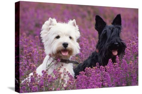 West Highland White Terrier and Scottish Terrier--Stretched Canvas Print