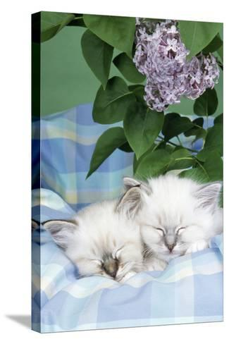 Seal Tabby and Blue Tabby Birman Kittens--Stretched Canvas Print