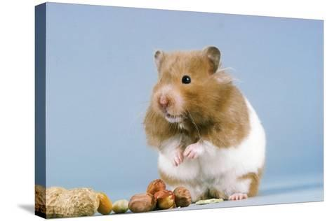 Hamster and Nuts--Stretched Canvas Print