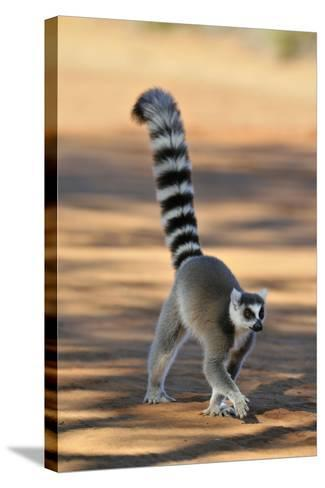 Ring-Tailed Lemur Walking with Tail Up--Stretched Canvas Print
