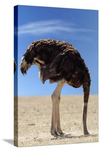 Ostrich with Head in Sand--Stretched Canvas Print
