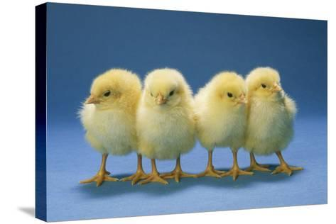 Chickens X4 Chicks--Stretched Canvas Print