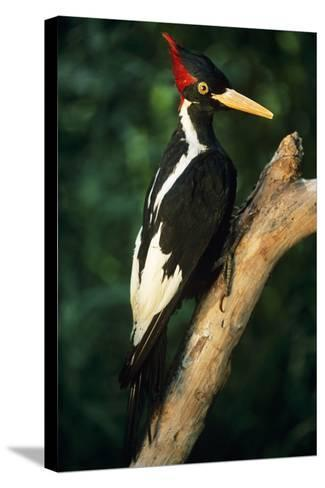Extinct Bird Ivory-Billed Woodpecker (Mounted Specimen)--Stretched Canvas Print