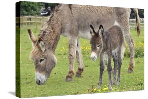 Donkey Adult and 5 Days Old Baby--Stretched Canvas Print