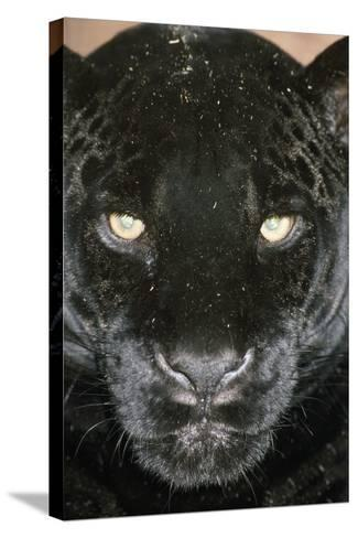 Black Jaguar--Stretched Canvas Print