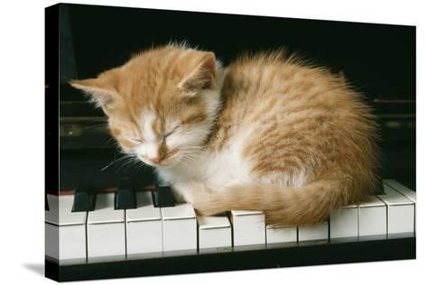 Kitten on Piano-Ginger--Stretched Canvas Print