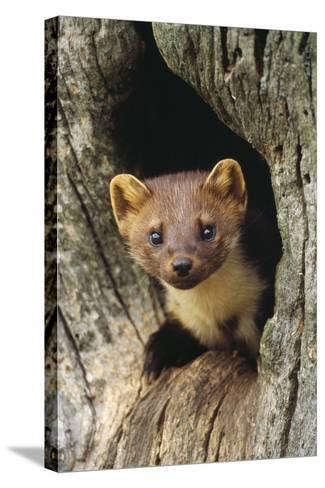 Pine Marten in Hole in Tree--Stretched Canvas Print