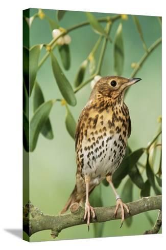 Song Thrush in Mistletoe--Stretched Canvas Print