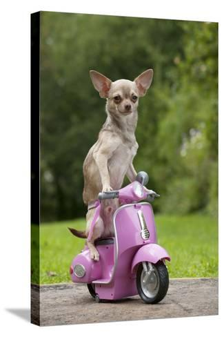 Chihuahua on Scooter--Stretched Canvas Print