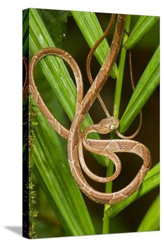 Blunthead Tree Snake--Stretched Canvas Print