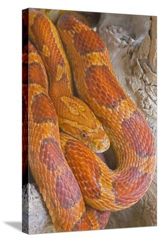 Corn Snake--Stretched Canvas Print