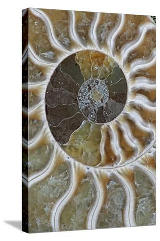 Fossil Ammonite--Stretched Canvas Print