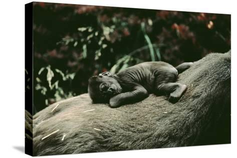Lowland Gorilla Parent with Baby on Back--Stretched Canvas Print