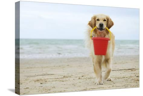 Golden Retriever Holding Bucket--Stretched Canvas Print