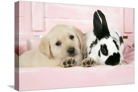 Labrador Retriever Puppy and English Rabbit--Stretched Canvas Print