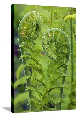 Ostrich Fern or Shuttlecock Fern Fiddlehead Edible--Stretched Canvas Print