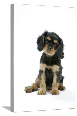 Cavalier King Charles Spaniel Puppy 6-7 Weeks Old--Stretched Canvas Print