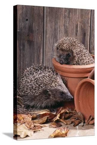 Hedgehogs in and Near Flowerpots--Stretched Canvas Print