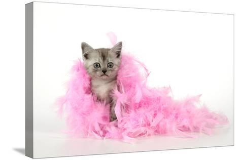 Black Smoke Kitten (8 Weeks) with Pink--Stretched Canvas Print