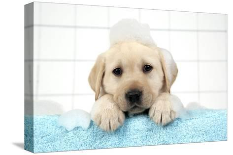 Labrador Retriever Puppy with in Bath with Soap Bubbles--Stretched Canvas Print