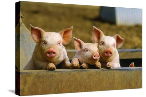 Pigs Piglets X Three Peering over Wall--Stretched Canvas Print