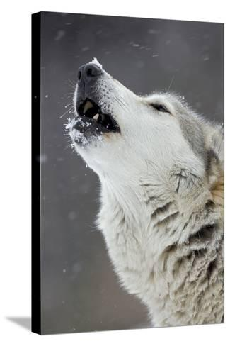 Timber Wolf Male Howling in Snow--Stretched Canvas Print