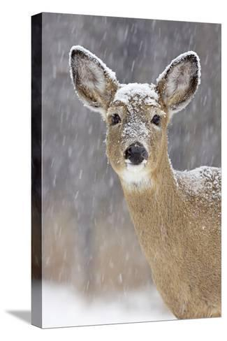 White-Tailed Deer Doe in Winter Snow--Stretched Canvas Print