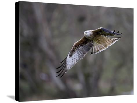 Red Kite in Flight--Stretched Canvas Print