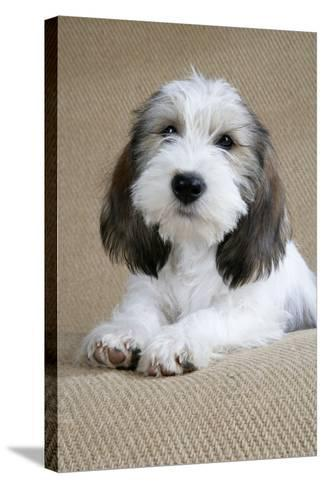 Petit Basset Griffon Vendeen Puppy 4 Months Old--Stretched Canvas Print