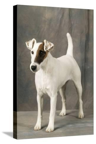 Smooth Fox Terrier Dog--Stretched Canvas Print