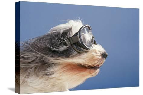 Polish Lowland SheepWearing Goggles in Wind--Stretched Canvas Print