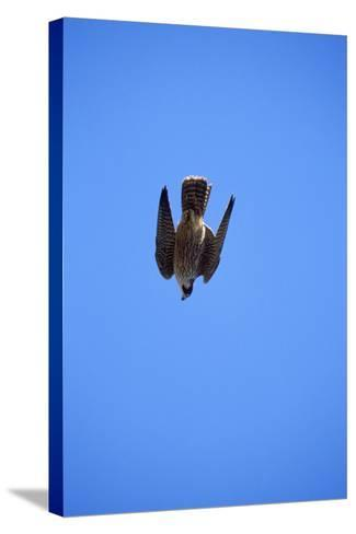 Peregrine Falcon Swooping--Stretched Canvas Print