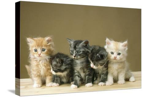 5 Kittens Sitting Together in a Row--Stretched Canvas Print