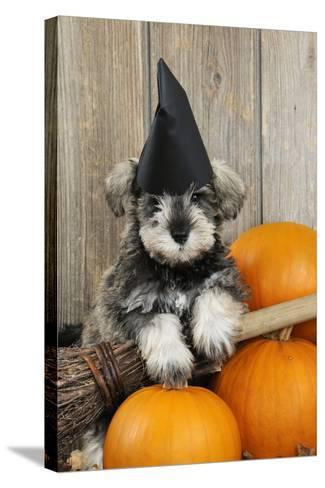 Schnauzer Puppy Looking over Broom Wearing Witches Hat--Stretched Canvas Print