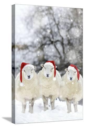 Sheep Texel Ewes in Snow Wearing Christmas Hats--Stretched Canvas Print