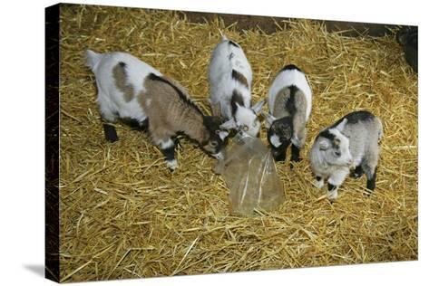 Pygmy Goat Kids Investigating a Polythene Bag--Stretched Canvas Print