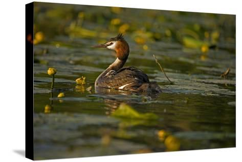 Great Crested Grebe Adult Carrying Young on Back--Stretched Canvas Print