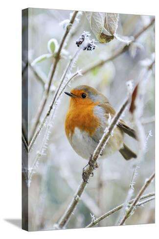 Bird Robin in Frosty Setting--Stretched Canvas Print