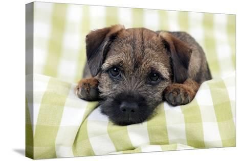 Border Terrier Puppy Sitting on a Blanket--Stretched Canvas Print