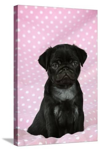 Black Pug Puppy (8 Wks Old)--Stretched Canvas Print