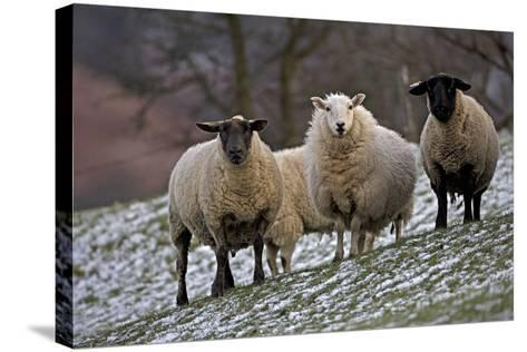 Sheep Mixture of Suffolk and Welsh Mountain Breeds--Stretched Canvas Print